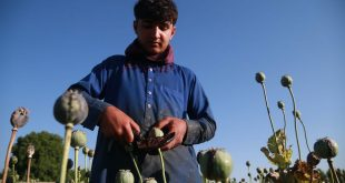 Farmers extract raw opium from poppies in Afghanistan's Nangarhar province. Ghulamullah Habibi/EPA