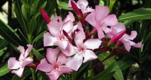 The oleander plant is beautiful but deadly because of a toxic chemical called oleadrin. Alvesgaspar/Wikimedia Commons, CC BY-SA