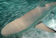 KAUST Research: Potential to conserve reef shark populations