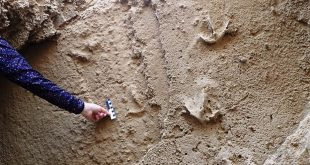 These fossil trackways resemble the tracks left by flamingos today, but are bigger. Just above the scale bar one can see (more faintly) the 'tramline traces' made by the ancient birds' stomping action. Charles Helm